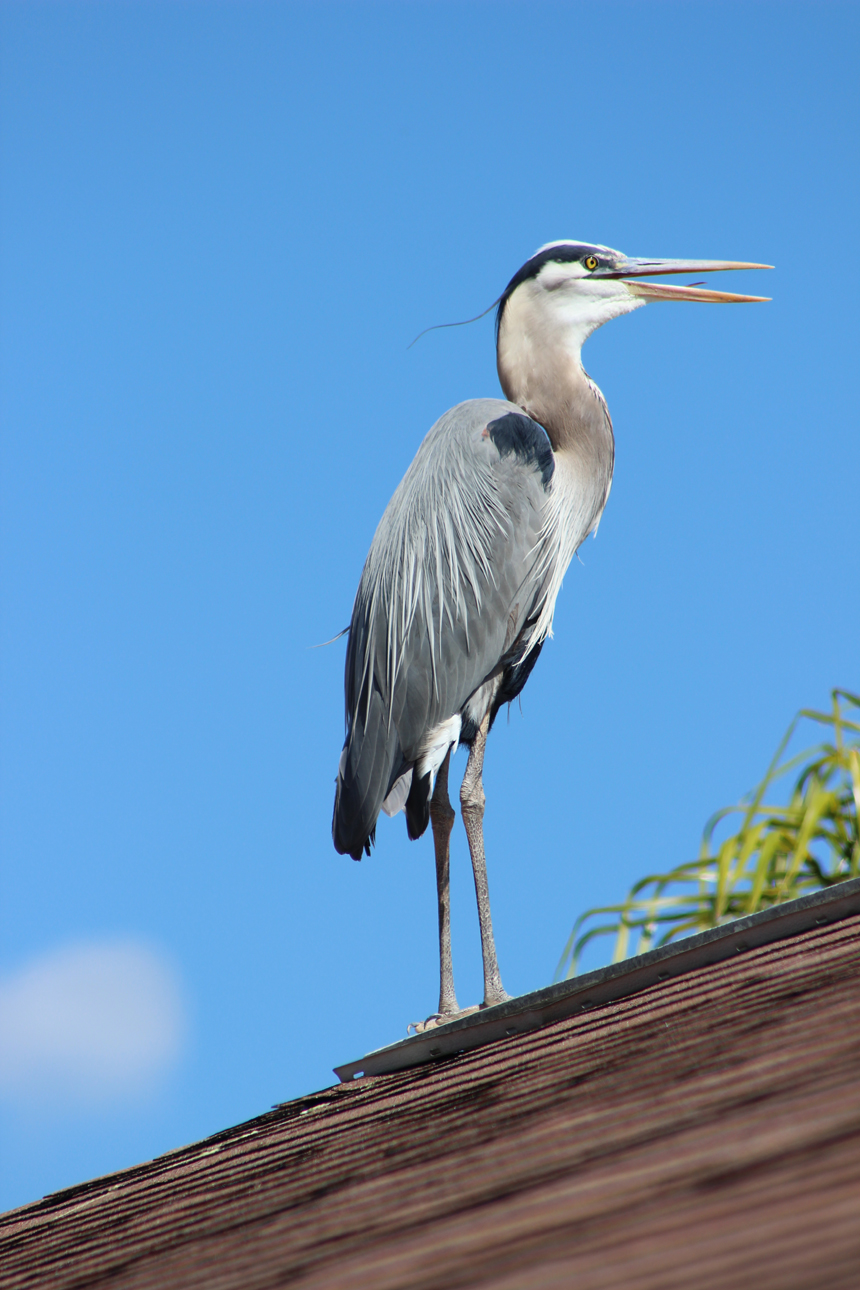 Heron on the rooftop