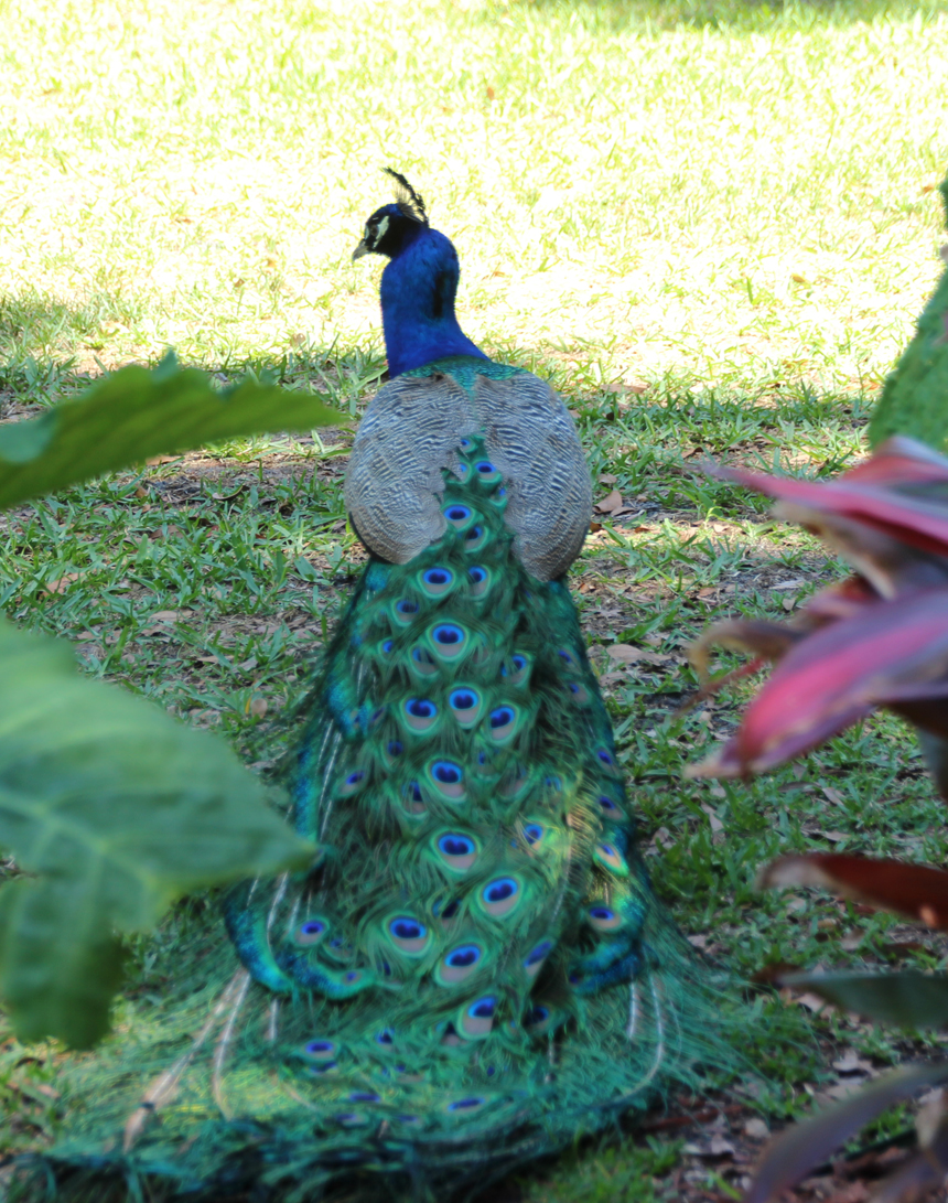 Peacock dragging his beautiful feathers behind.