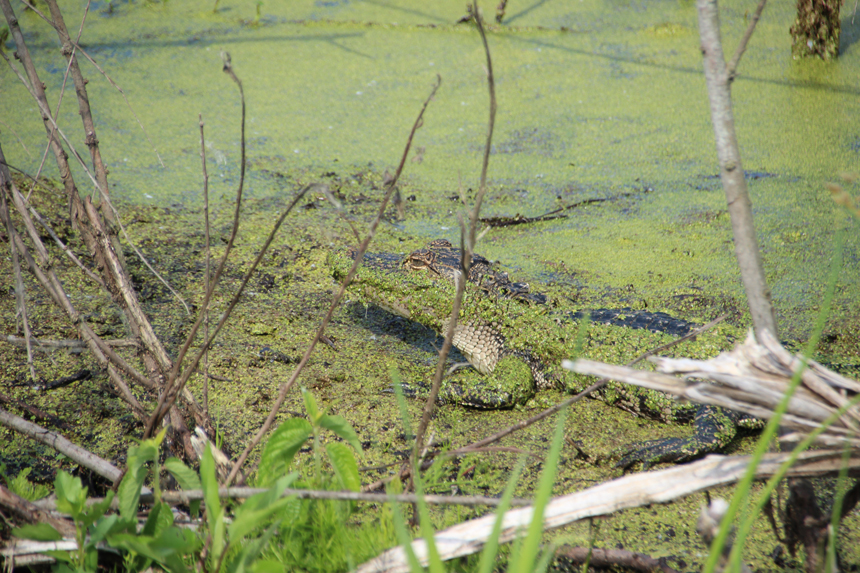 This is the picture zoomed in showing the alligator.