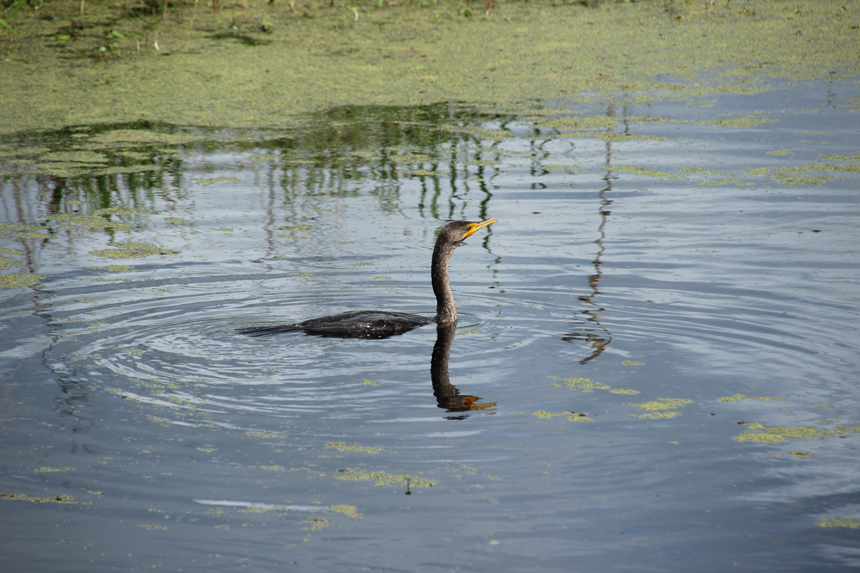 Cormorant looking for lunch