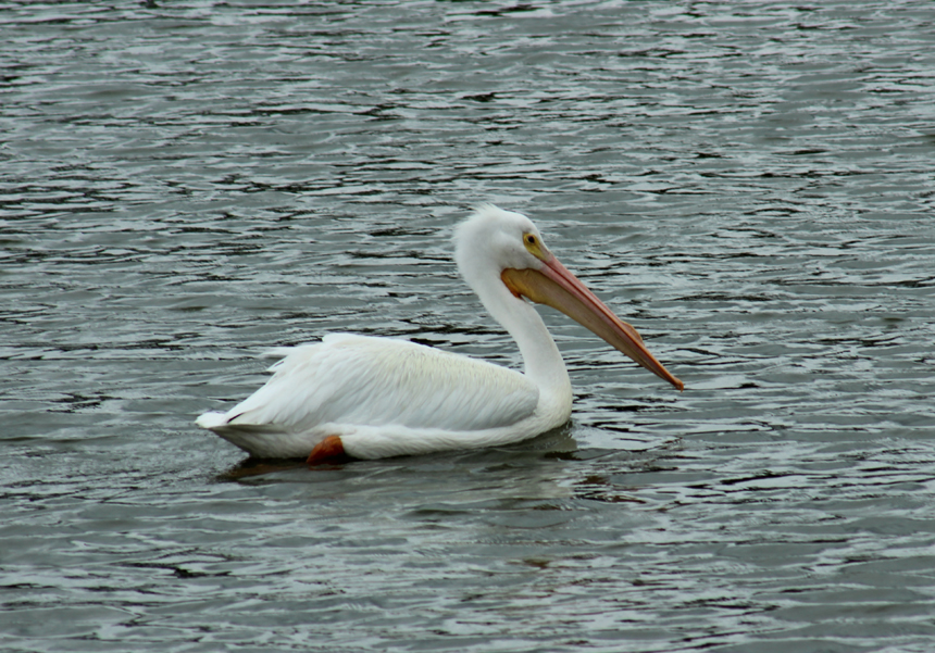 Pelican swimming to meet his family