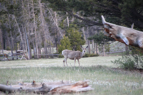 Mule deer having supper